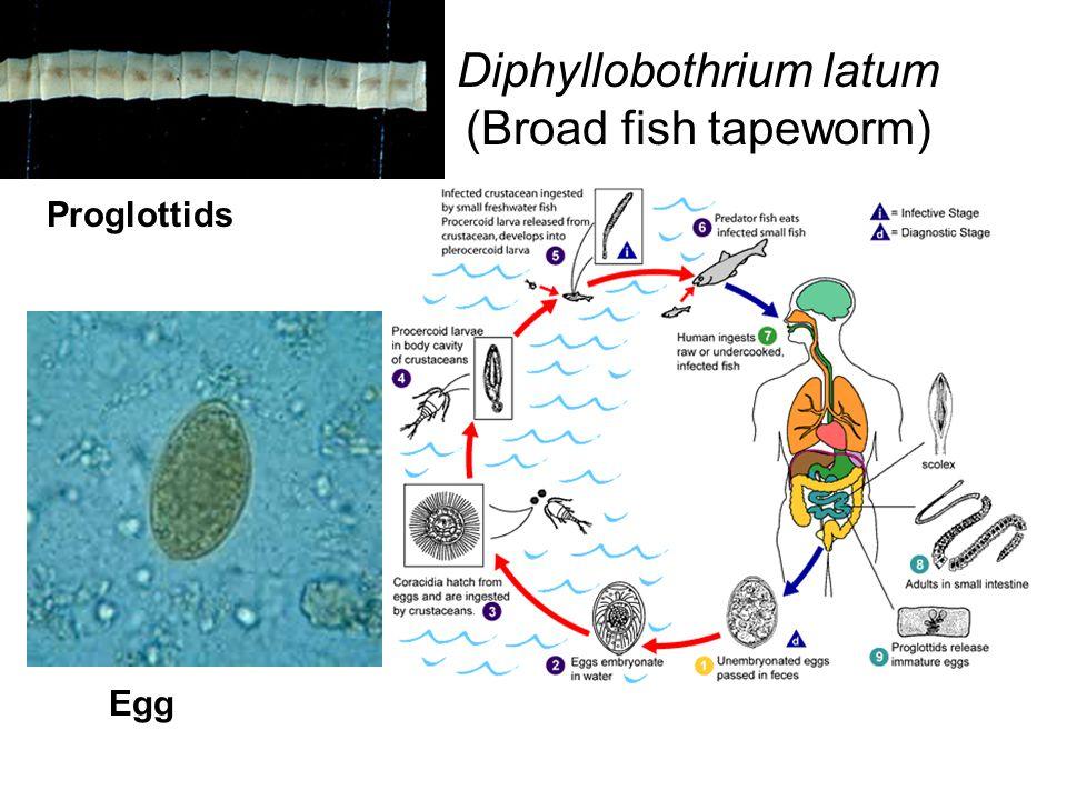 Diphyllobothrium latum (Broad fish tapeworm)