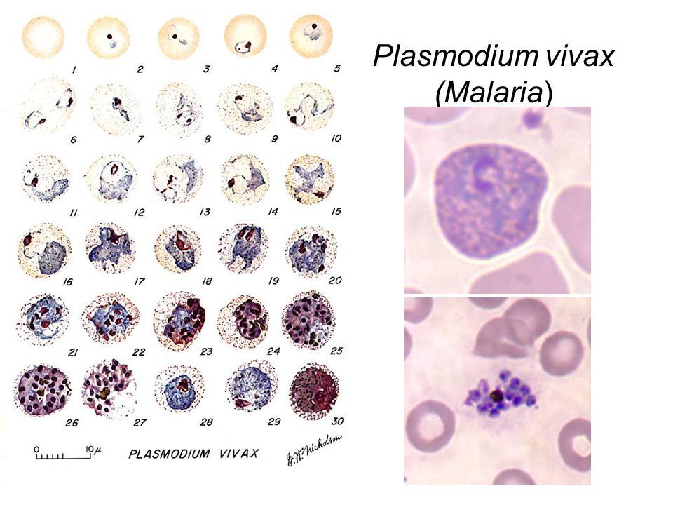 Plasmodium vivax (Malaria)