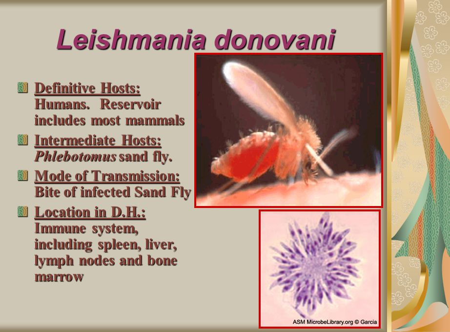 Leishmania donovani Definitive Hosts: Humans. Reservoir includes most mammals. Intermediate Hosts: Phlebotomus sand fly.