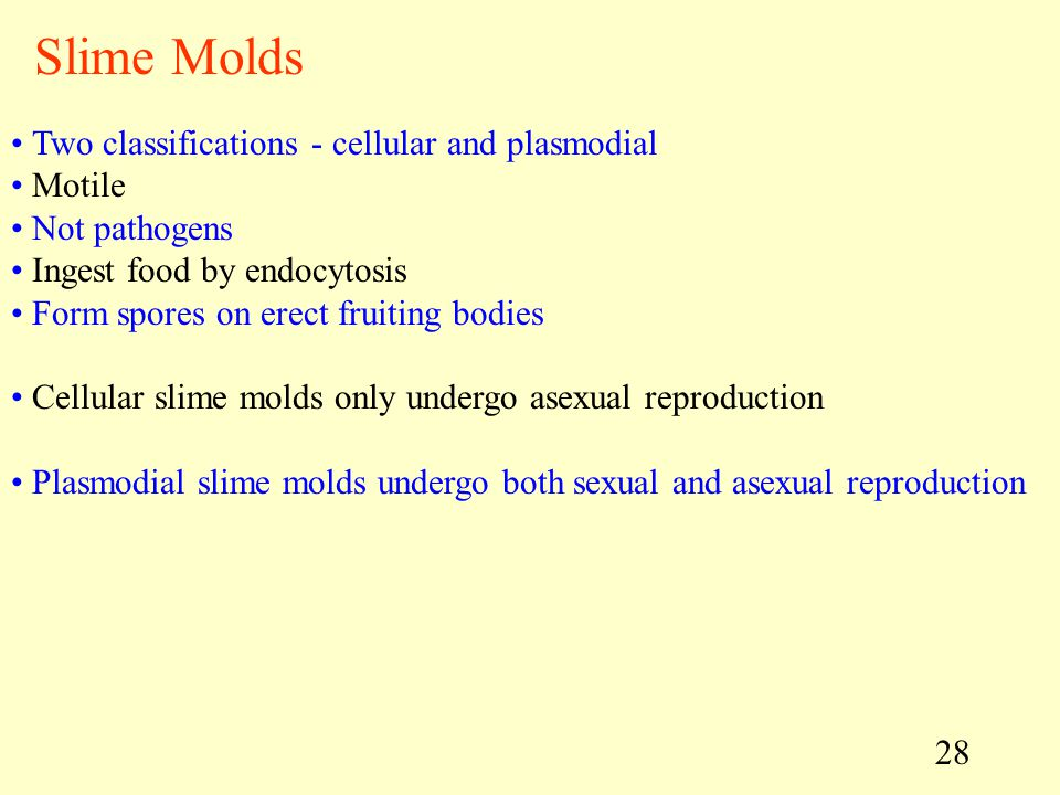 Slime Molds Two classifications - cellular and plasmodial Motile