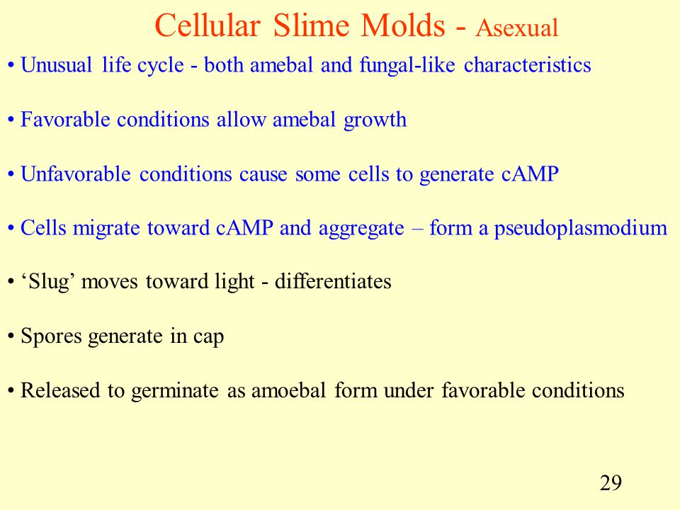 Cellular Slime Molds - Asexual
