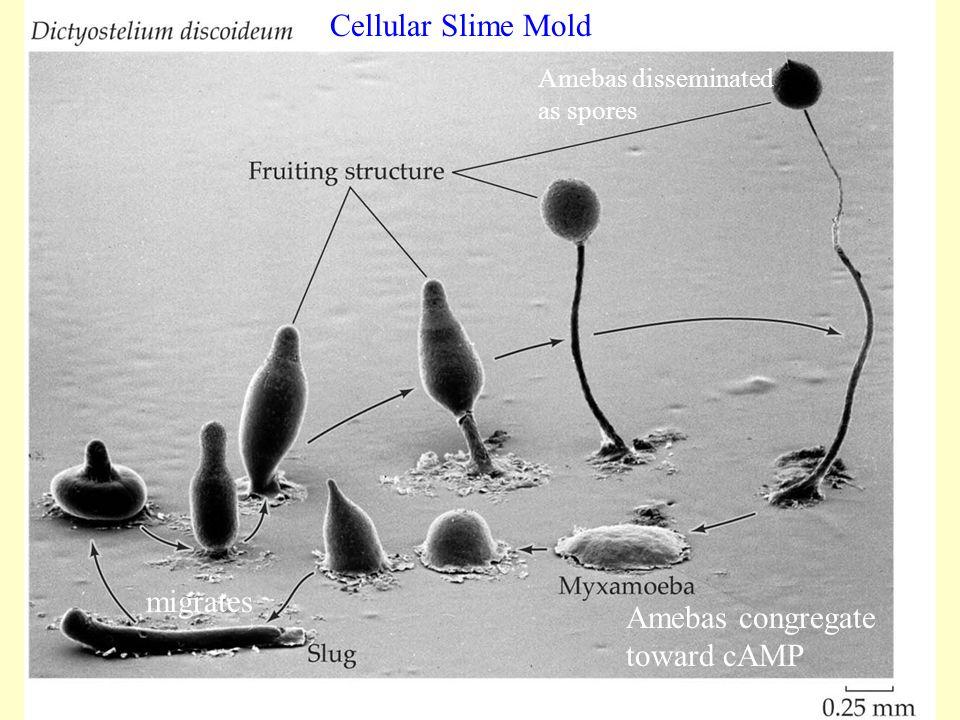 Cellular Slime Mold migrates Amebas congregate toward cAMP