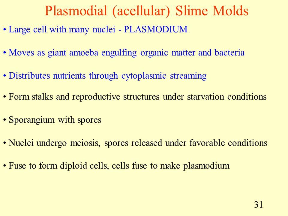 Plasmodial (acellular) Slime Molds
