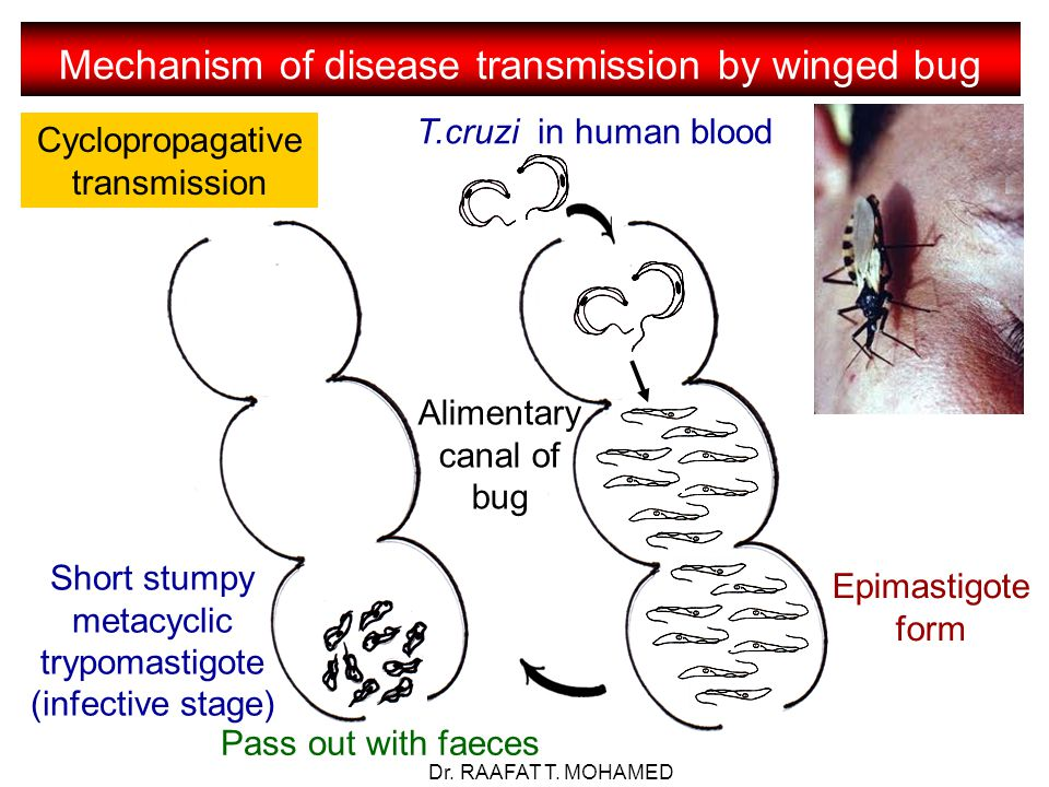 Mechanism of disease transmission by winged bug