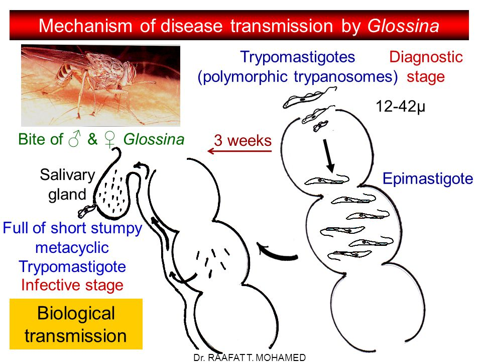 Mechanism of disease transmission by Glossina