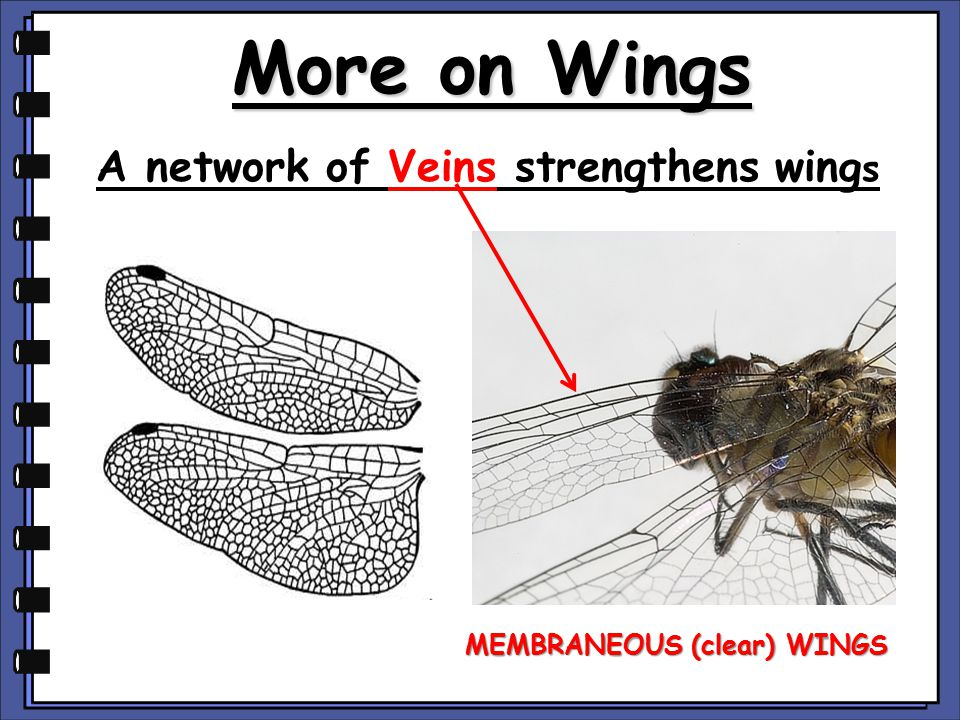 A network of Veins strengthens wings MEMBRANEOUS (clear) WINGS