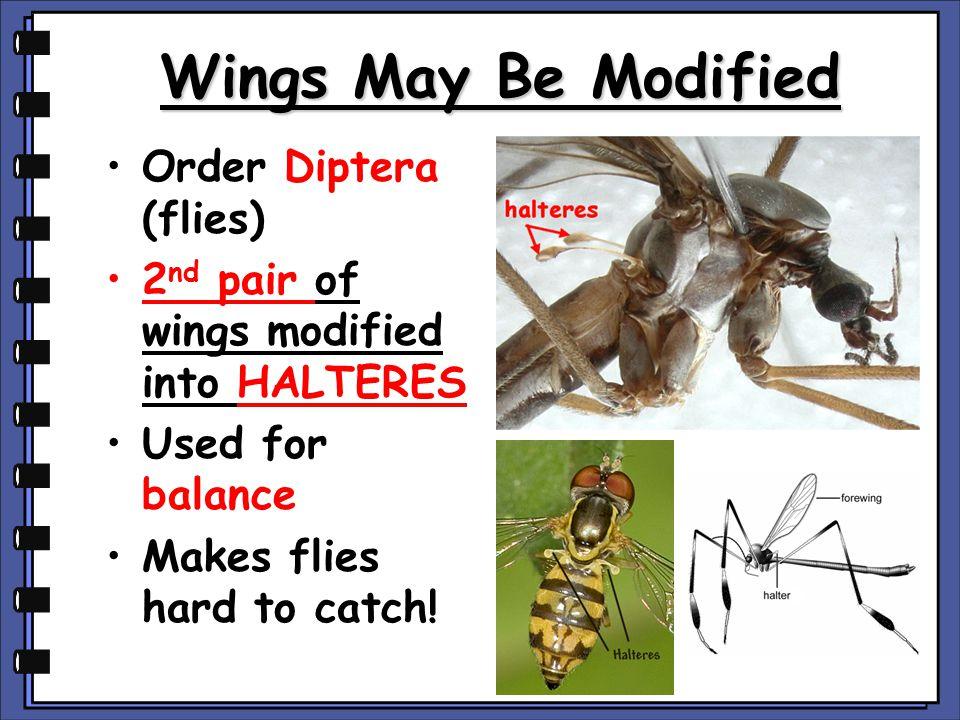 Wings May Be Modified Order Diptera (flies)