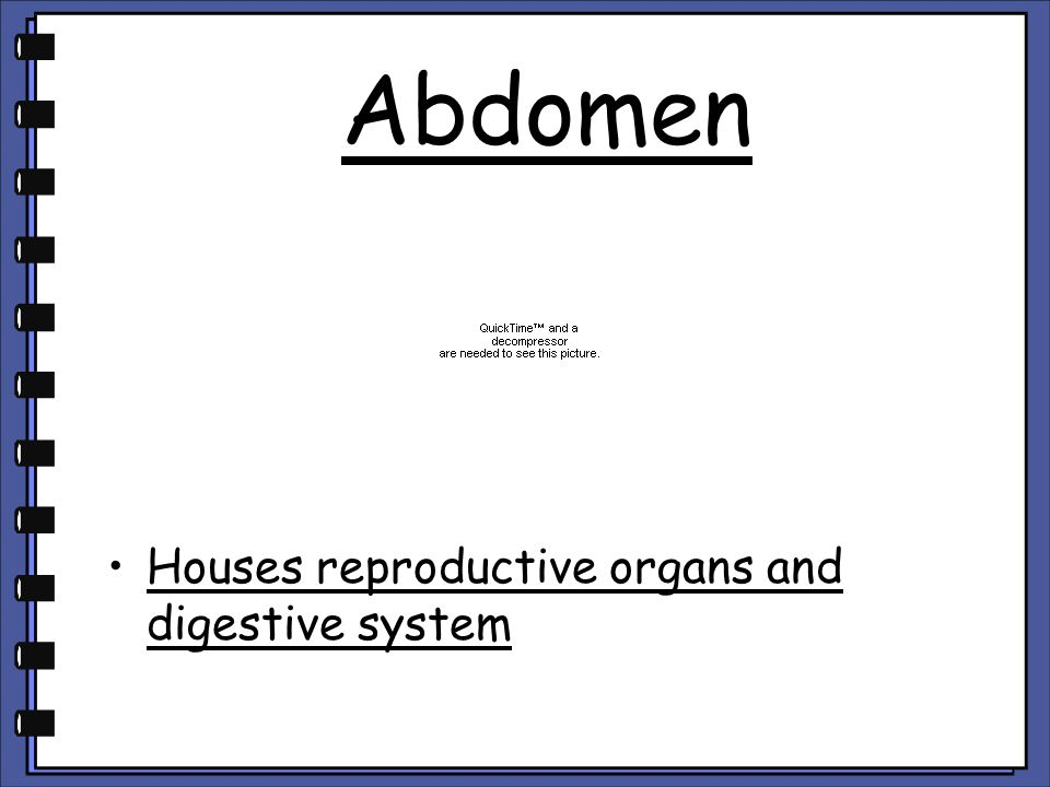 Abdomen Houses reproductive organs and digestive system