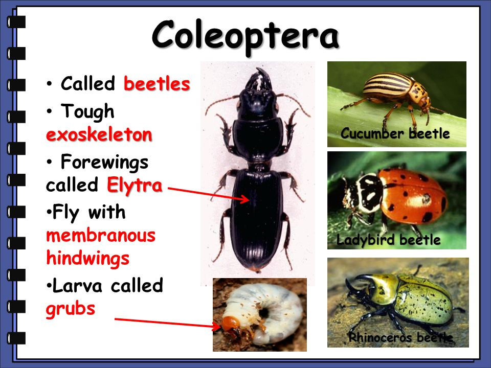 Coleoptera Called beetles Tough exoskeleton Forewings called Elytra
