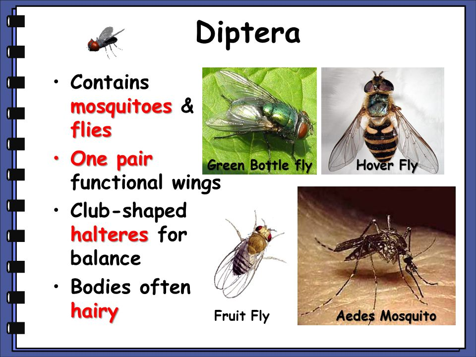 Diptera Contains mosquitoes & flies One pair functional wings