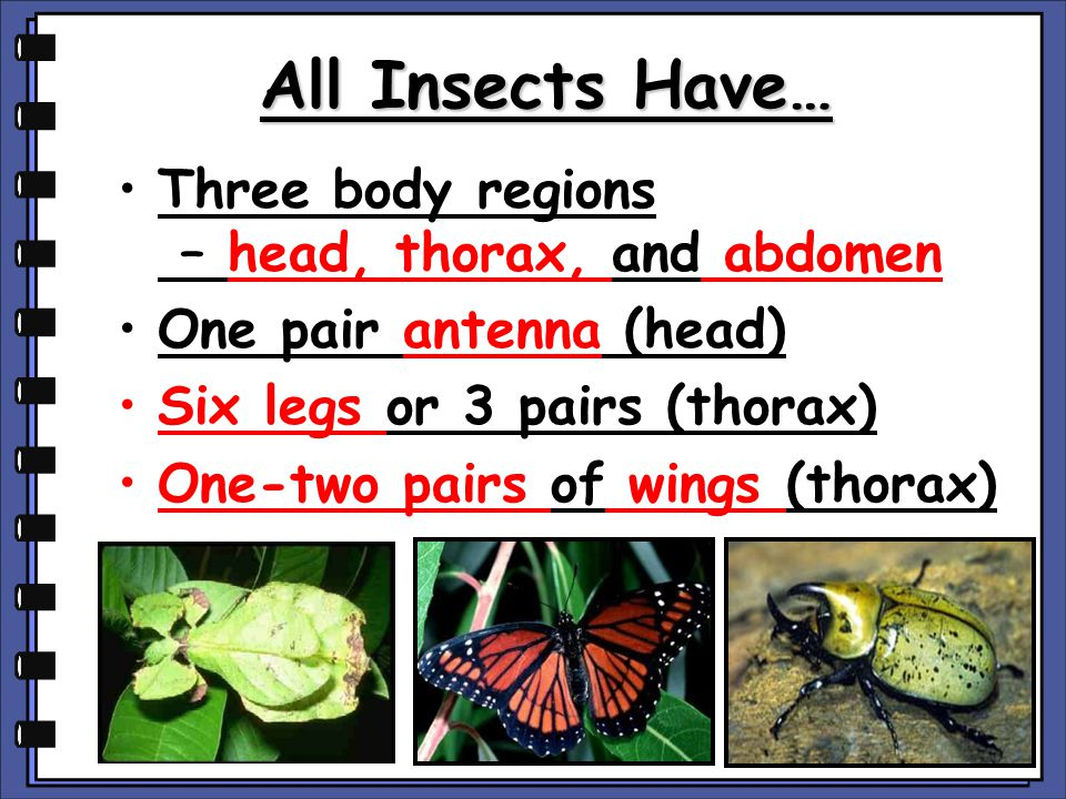 All Insects Have… Three body regions – head, thorax, and abdomen
