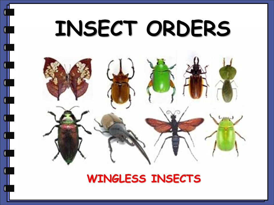 INSECT ORDERS WINGLESS INSECTS