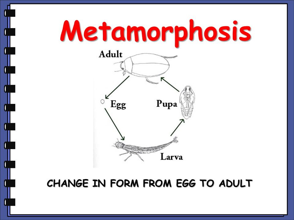 CHANGE IN FORM FROM EGG TO ADULT