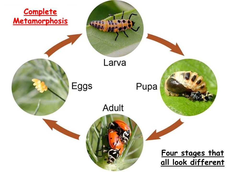 Complete Metamorphosis Four stages that all look different