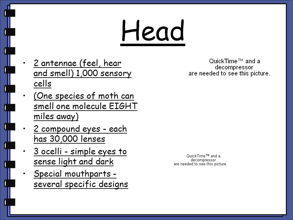 Head 2 antennae (feel, hear and smell) 1,000 sensory cells