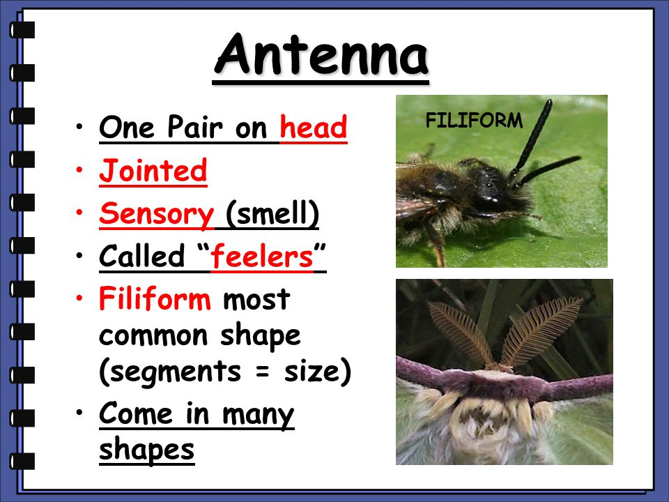 Antenna One Pair on head Jointed Sensory (smell) Called feelers