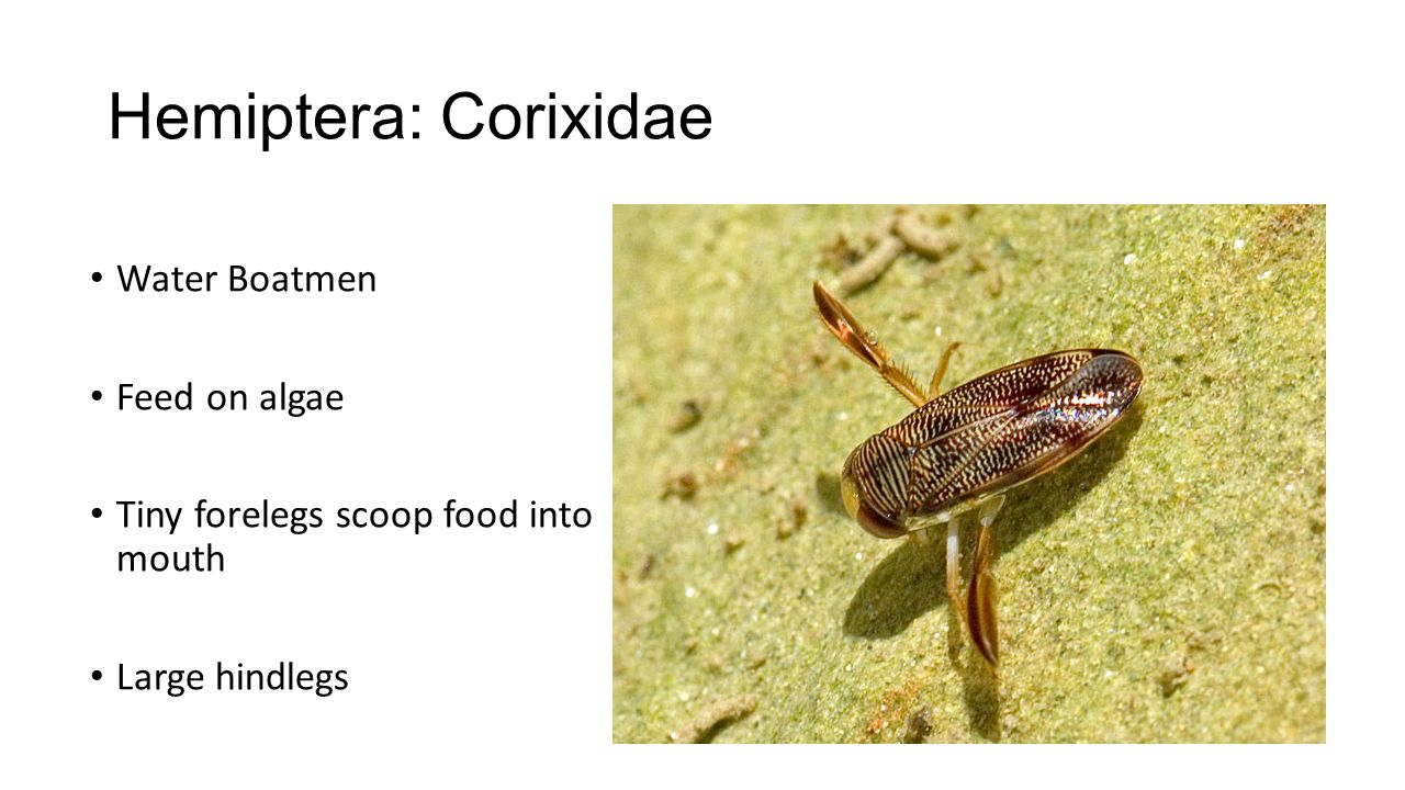 Hemiptera: Corixidae Water Boatmen Feed on algae