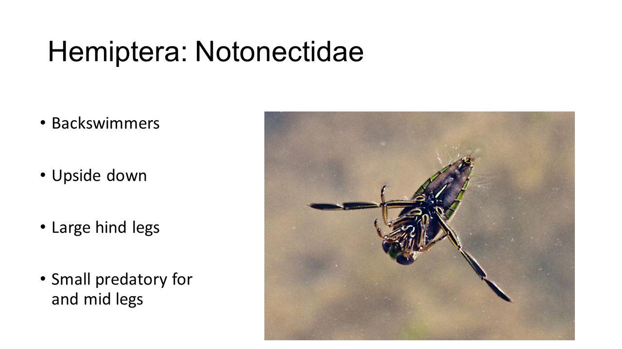 Hemiptera: Notonectidae