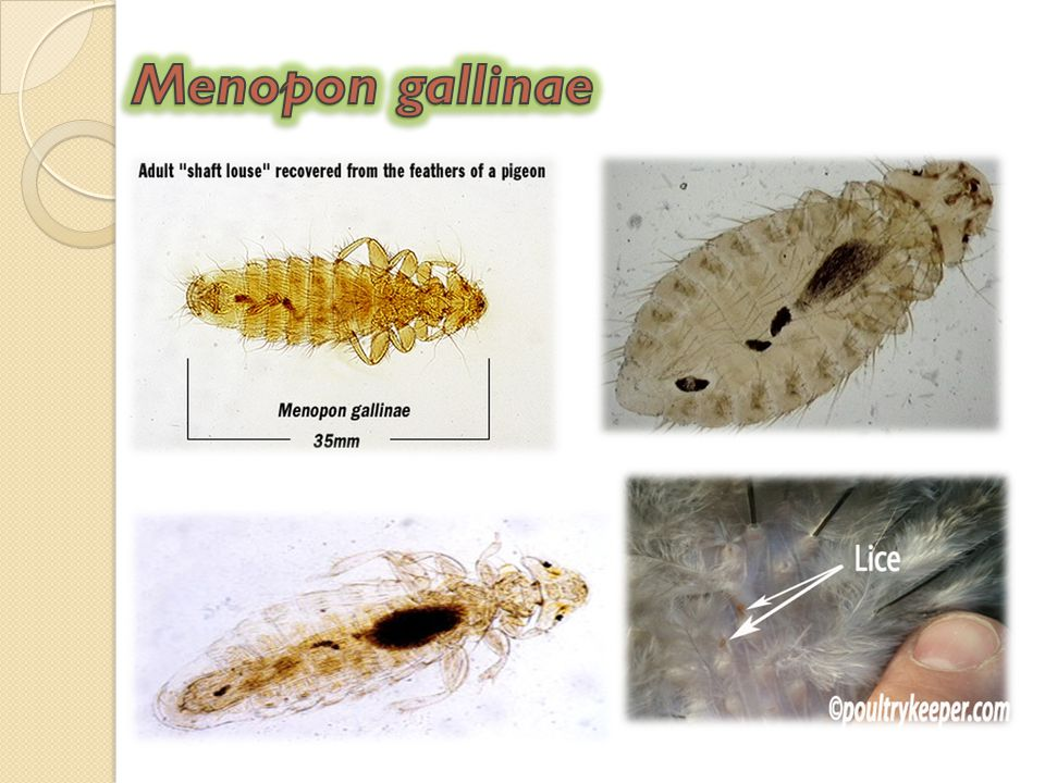 Menopon gallinae