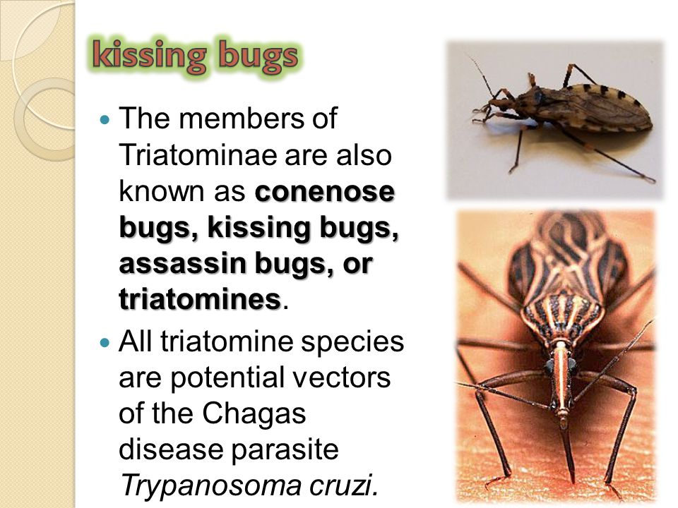 kissing bugs The members of Triatominae are also known as conenose bugs, kissing bugs, assassin bugs, or triatomines.