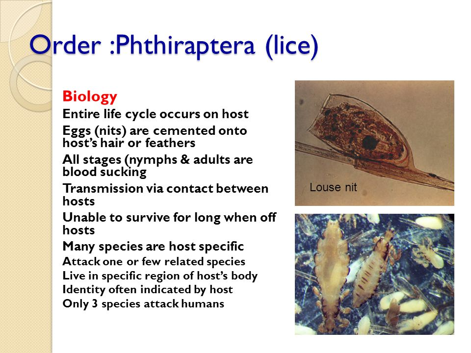 Order :Phthiraptera (lice)