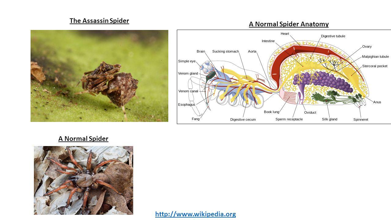 A Normal Spider Anatomy