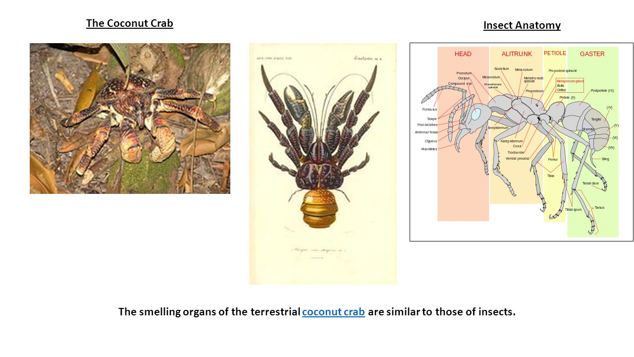 The Coconut Crab Insect Anatomy.
