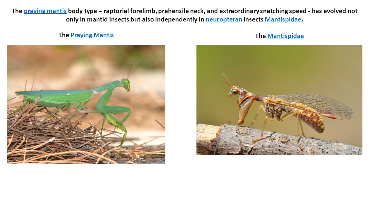 The praying mantis body type – raptorial forelimb, prehensile neck, and extraordinary snatching speed - has evolved not only in mantid insects but also independently in neuropteran insects Mantispidae.