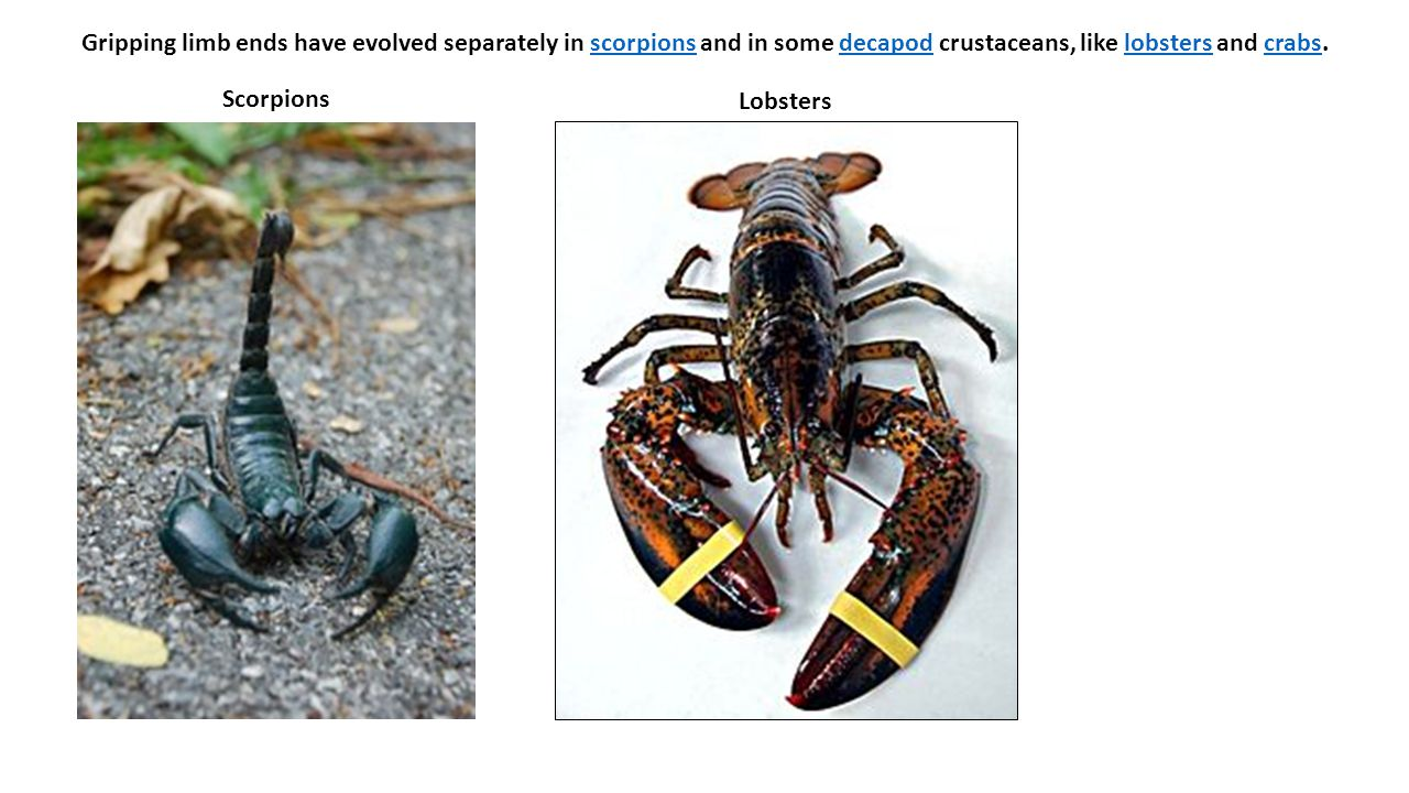Gripping limb ends have evolved separately in scorpions and in some decapod crustaceans, like lobsters and crabs.