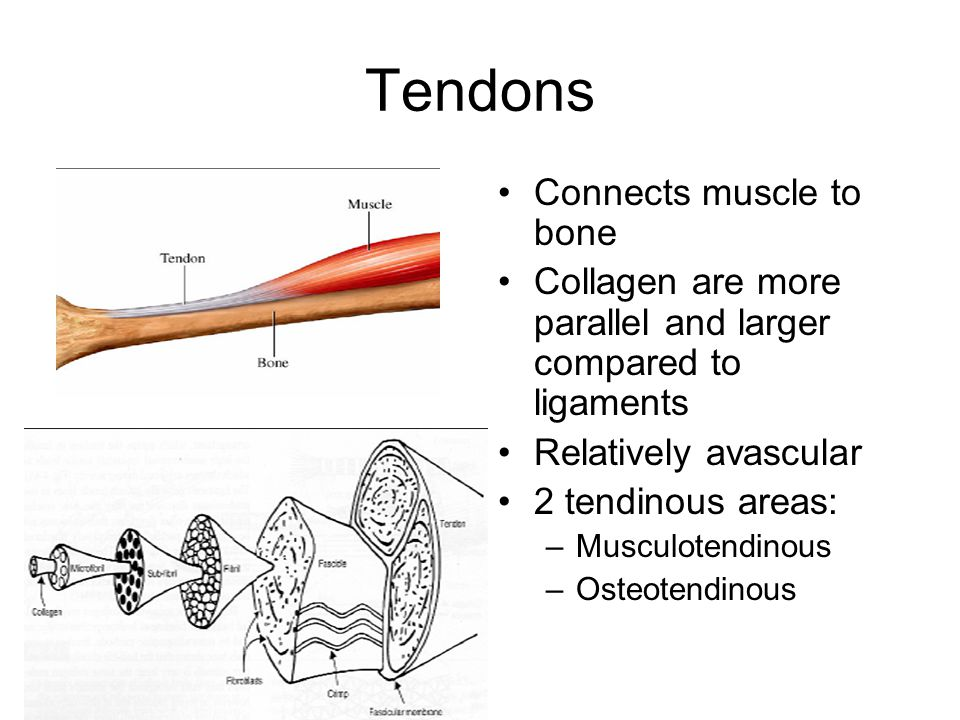 Tendons Connects muscle to bone