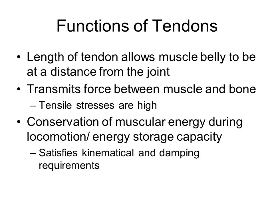 Functions of Tendons Length of tendon allows muscle belly to be at a distance from the joint. Transmits force between muscle and bone.