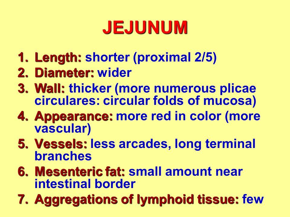 JEJUNUM Length: shorter (proximal 2/5) Diameter: wider