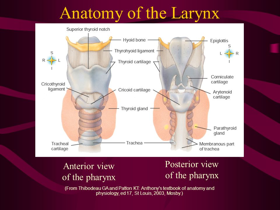 Anatomy of the Larynx Posterior view of the pharynx