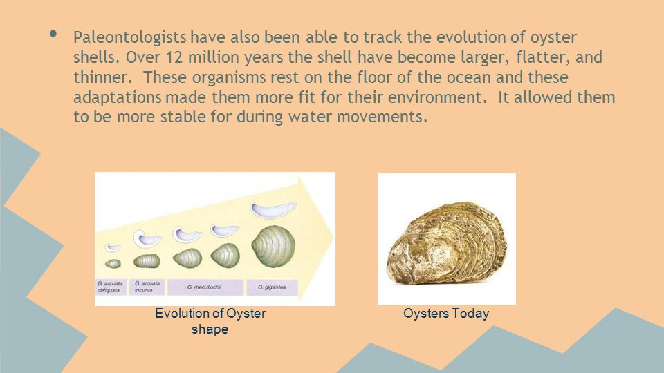 Evolution of Oyster shape