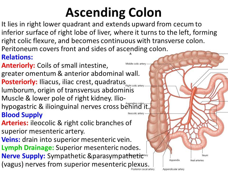 Ascending Colon