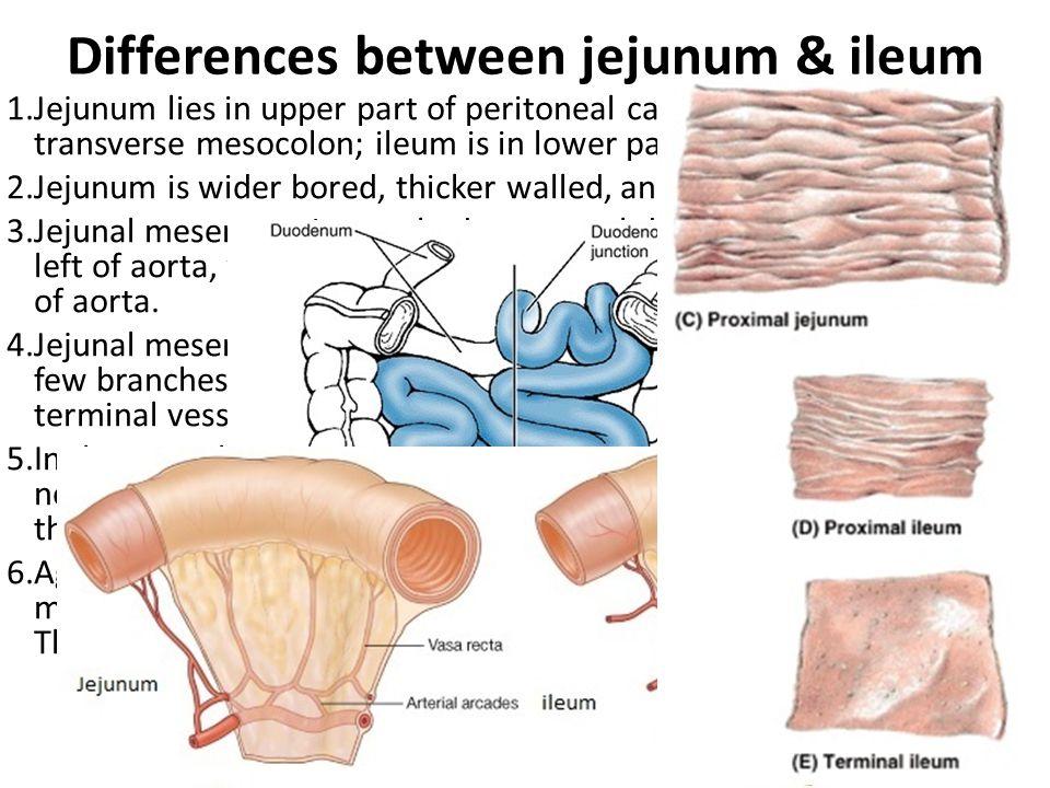 Differences between jejunum & ileum