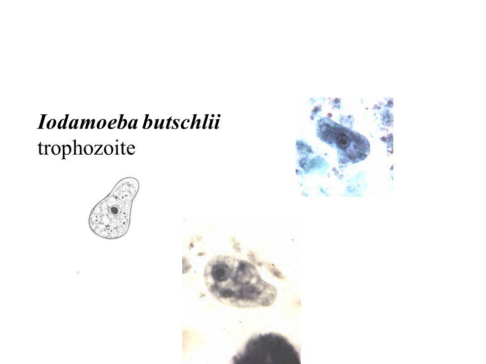 Iodamoeba butschlii trophozoite