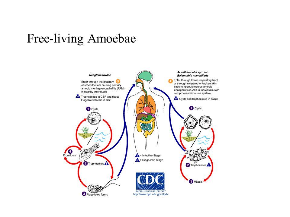 Free-living Amoebae