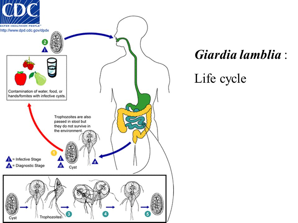 Giardia lamblia : Life cycle
