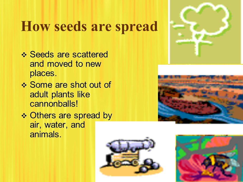 How seeds are spread Seeds are scattered and moved to new places.