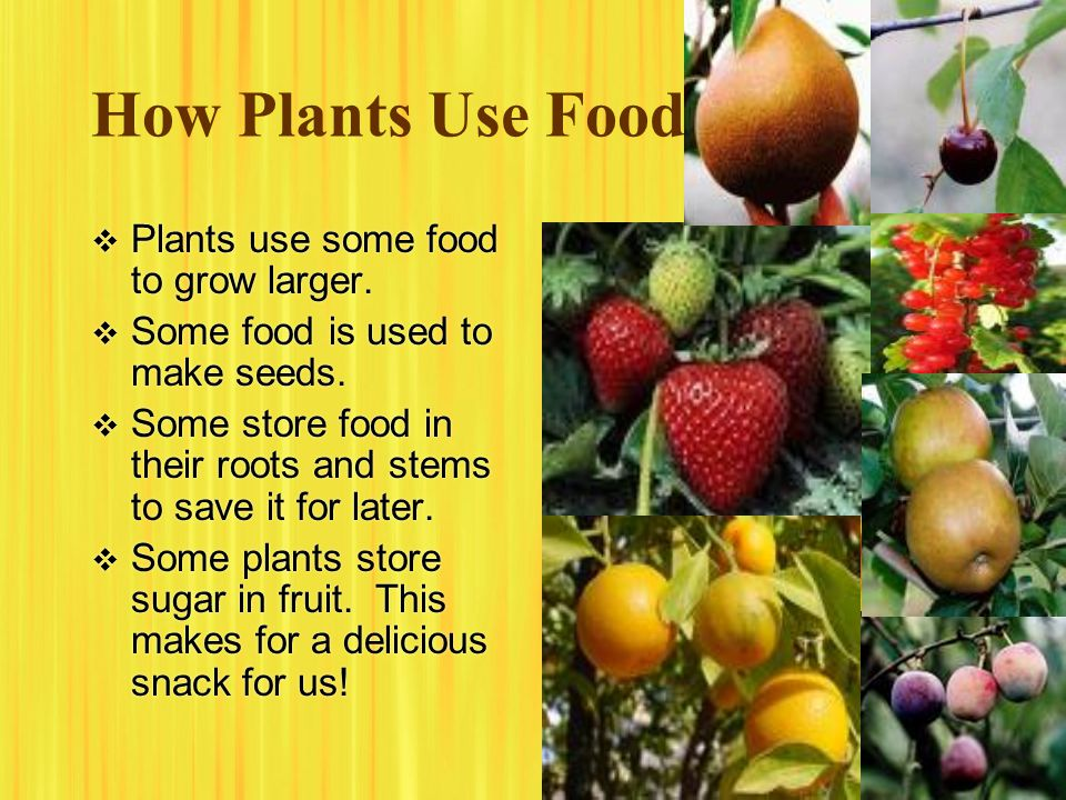 How Plants Use Food Plants use some food to grow larger.