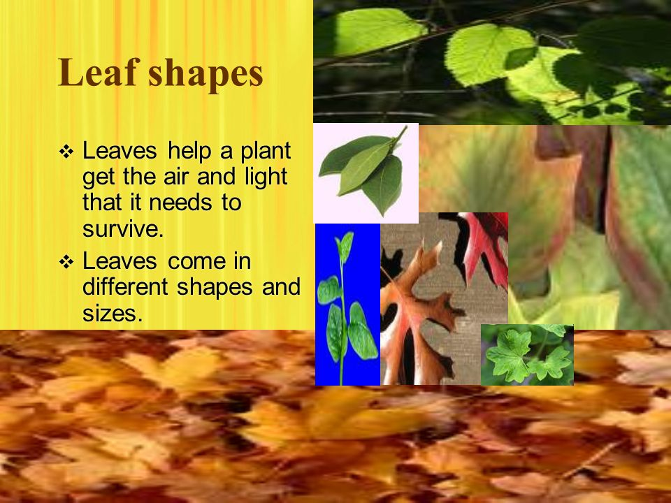 Leaf shapes Leaves help a plant get the air and light that it needs to survive.