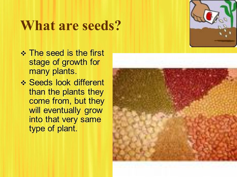 What are seeds The seed is the first stage of growth for many plants.