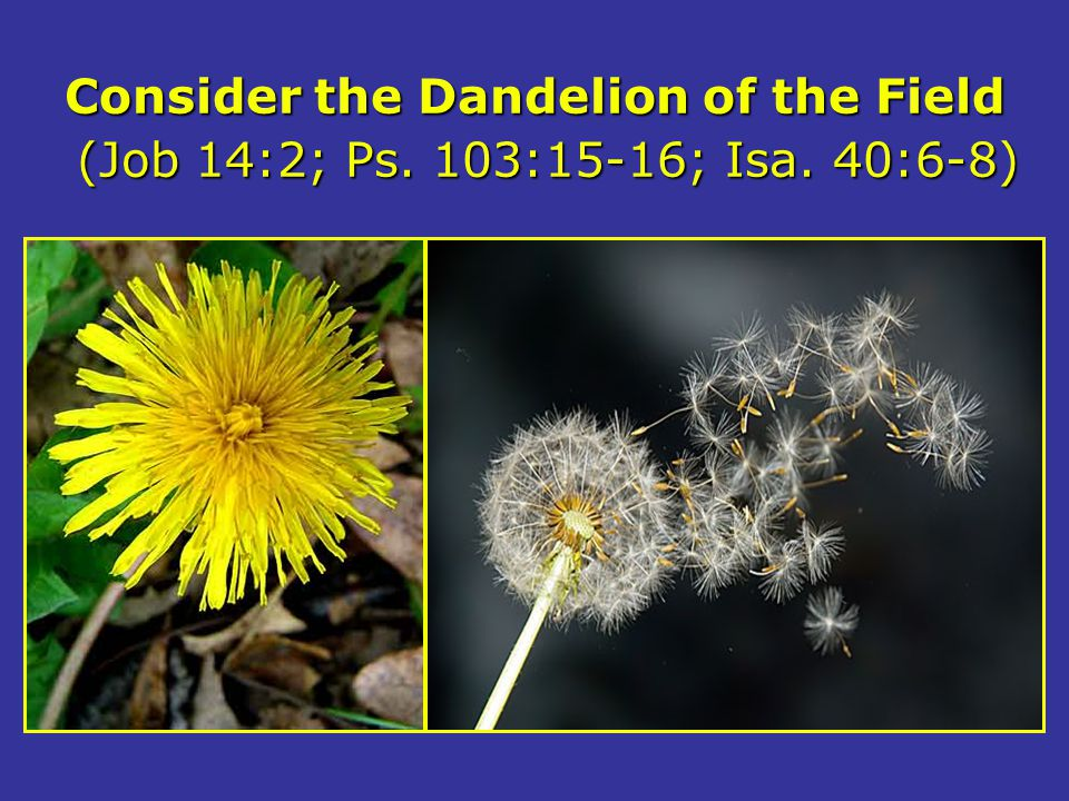 Consider the Dandelion of the Field (Job 14:2; Ps. 103:15-16; Isa