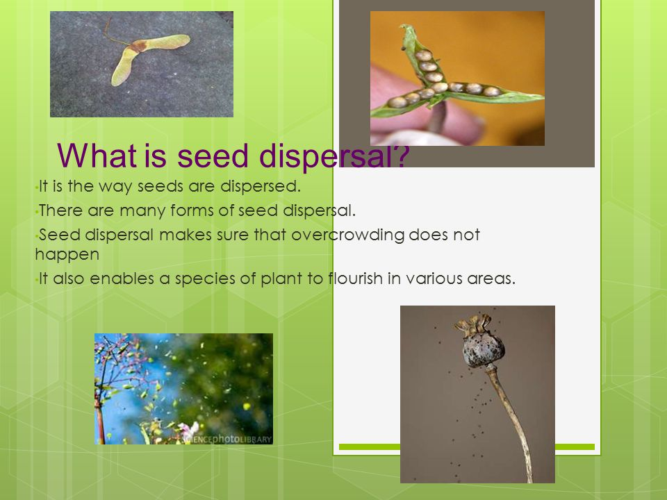 What is seed dispersal It is the way seeds are dispersed.