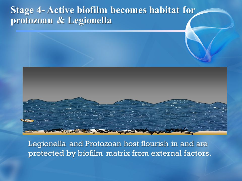 Stage 4- Active biofilm becomes habitat for protozoan & Legionella