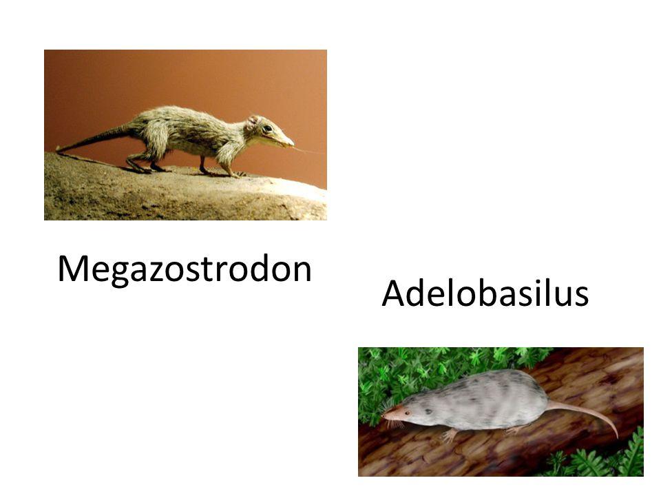 Megazostrodon Adelobasilus