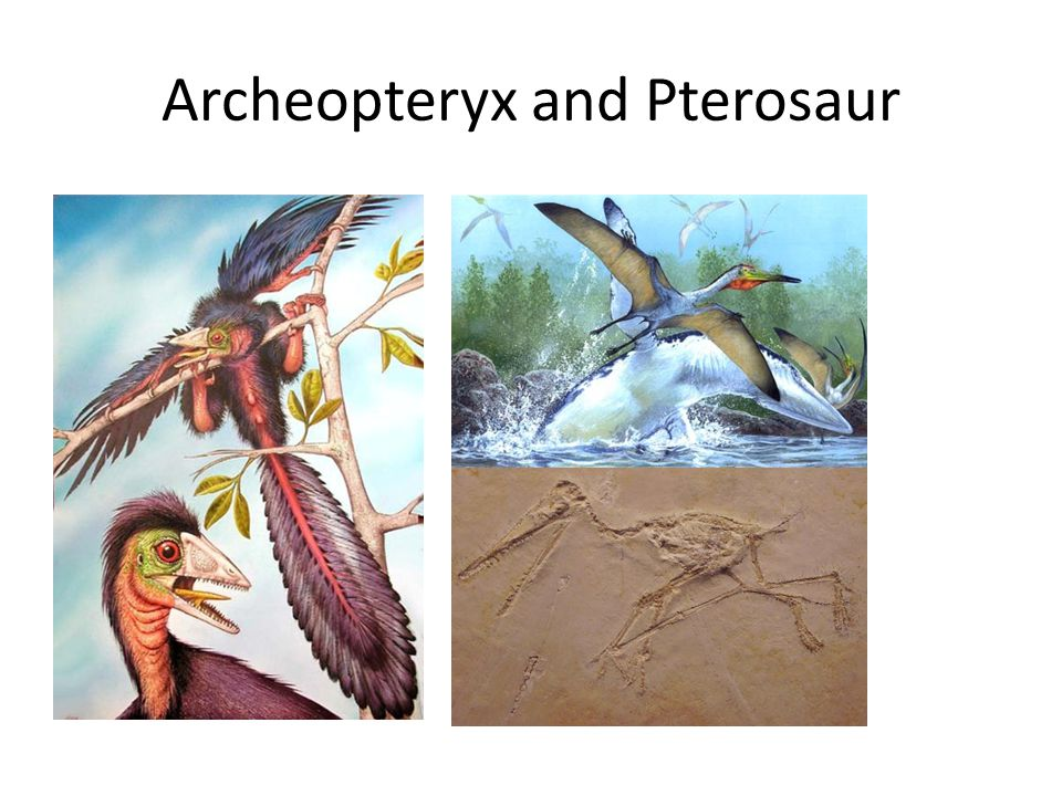 Archeopteryx and Pterosaur
