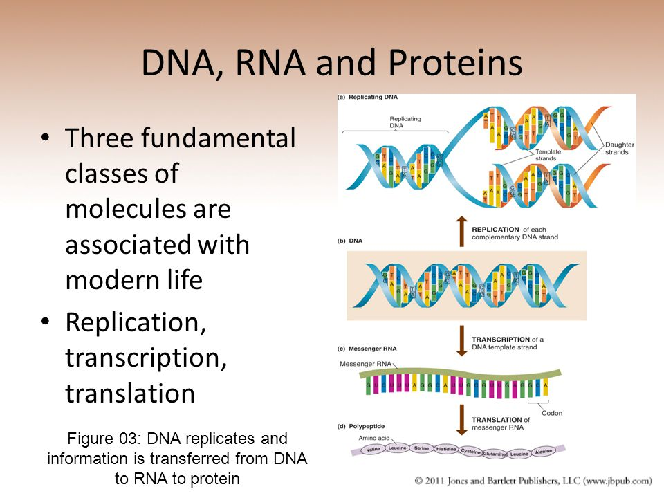 DNA, RNA and Proteins Three fundamental classes of molecules are associated with modern life. Replication, transcription, translation.