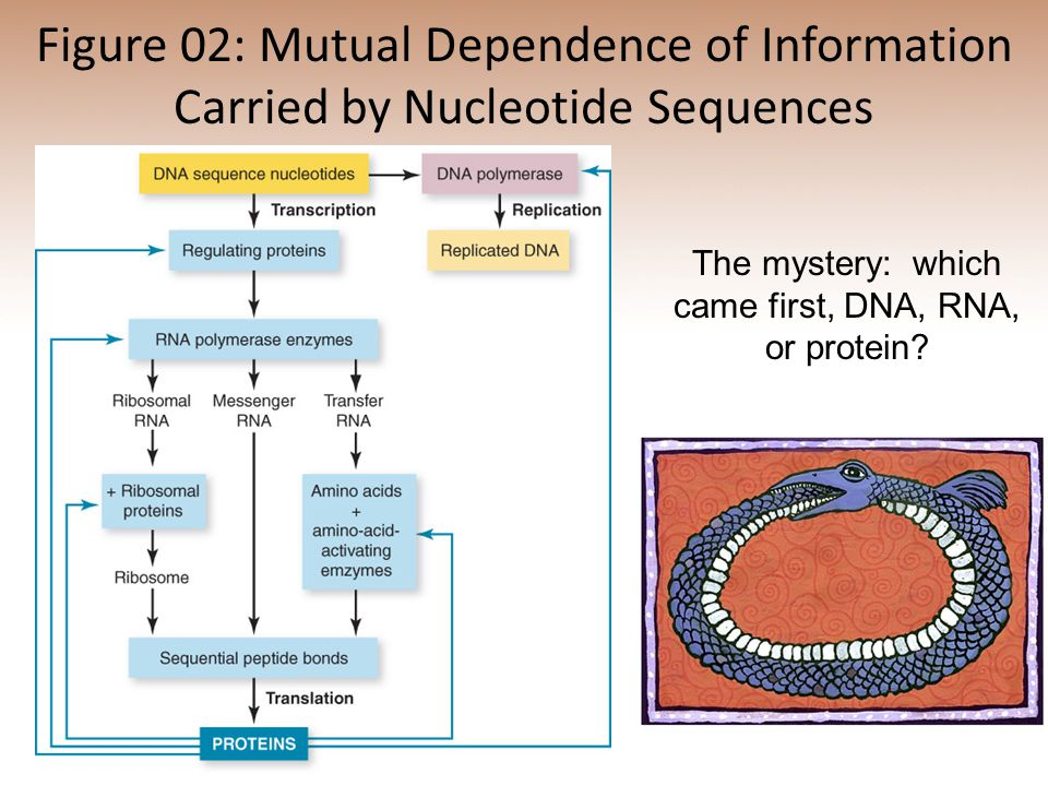 The mystery: which came first, DNA, RNA, or protein